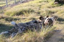 wild dogs at Jukani