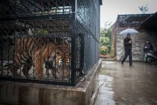 A tiger looks out from a cage at the Shanghai Zoo on Dec 17, 2013, as a man passes by. (China Daily/Sun Zhan)