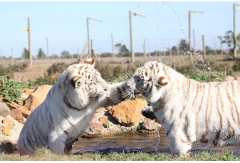 white tigers playing
