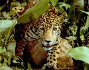 jaguar in the forest