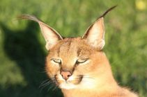 Kisa the caracal