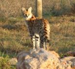 Chico the serval