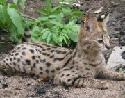 serval relaxing