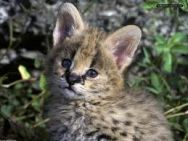 serval baby