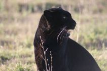 Black leopard named Spirit