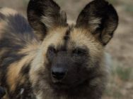 Wild dog at Jukani