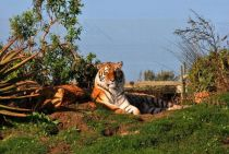 Lali the Siberian tiger
