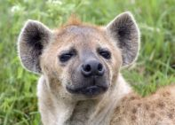 smiling hyena face