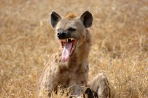 hyena showing teeth