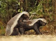 mating badgers