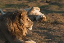 tawny lions relaxing