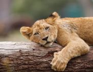 young tawny lion
