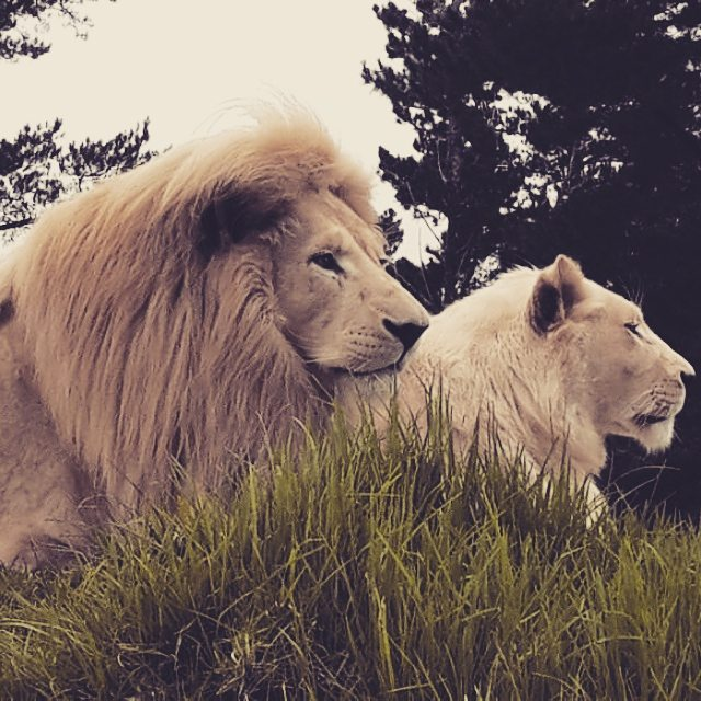 White lions at Jukani