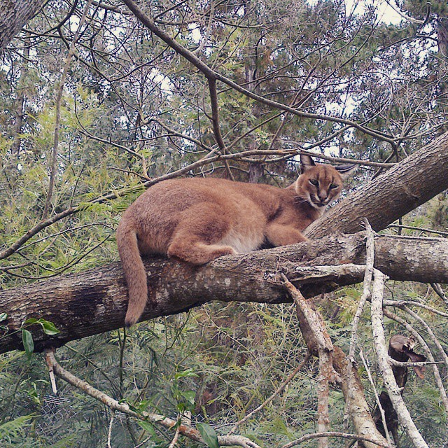 Mountain lion tree climbing at Jukani